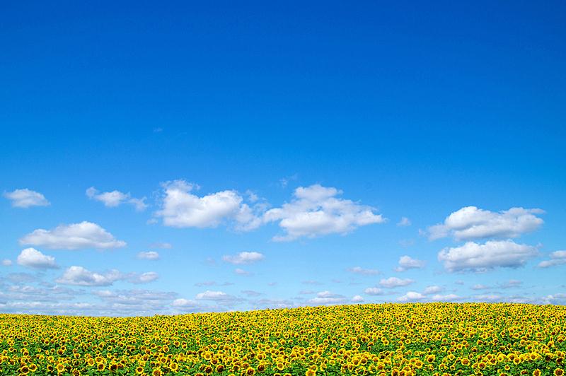 天空,蓝色,田地,向日葵,自然,水平画幅,无人,有机食品,乌克兰,夏天