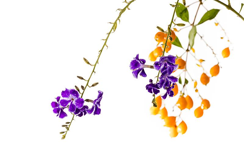 水果,灌木,金色,露水,美国,水平画幅,无人,紫色,浆果,白色背景