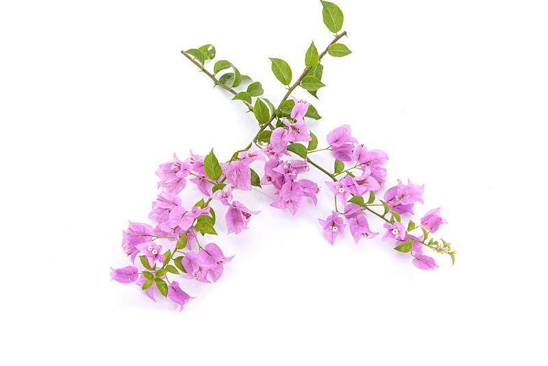 白色背景,仅一朵花,自然,水平画幅,雄蕊,无人,夏天,特写,脆弱,华丽的