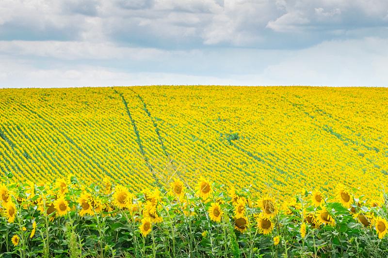田地,向日葵,天空,美,水平画幅,无人,夏天,户外,明亮,农作物