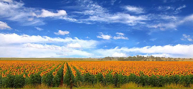云景,田地,蓝色,向日葵,天空,布隆方丹,奥兰治自由邦,水平画幅,无人,夏天