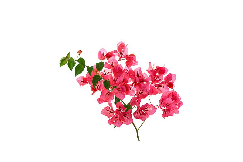 三角梅,仅一朵花,白色背景,普吉岛,棚,自然,式样,气候,水平画幅,无人