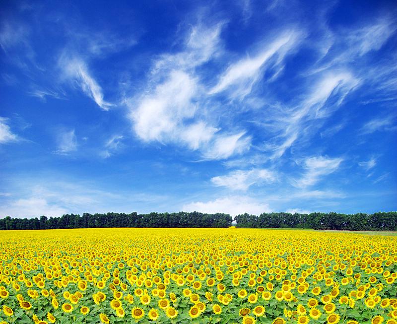 田地,向日葵,自然,天空,草地,水平画幅,地形,无人,蓝色,乌克兰