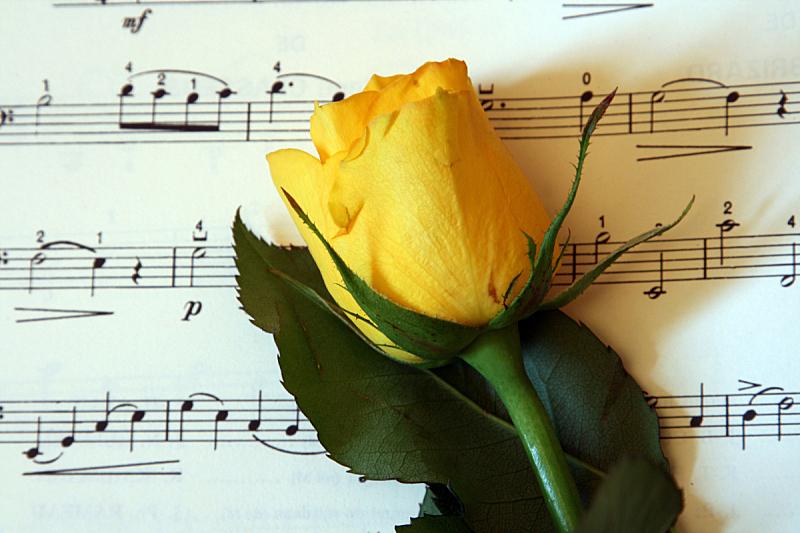 玫瑰,黄色,记分板,水平画幅,古典乐,时间,部分,乐谱,白色,高处