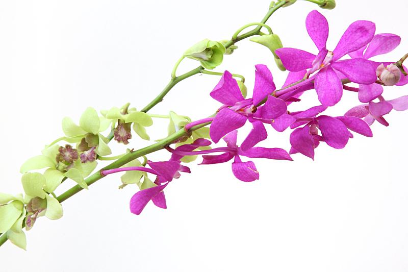 兰花,白色背景,自然,背景分离,粉色,热带气候,室内,图像,无人,水平画幅