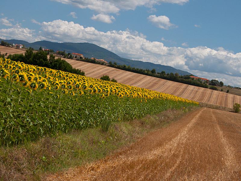 向日葵,田地,干草,非都市风光,水平画幅,无人,夏天,户外,托斯卡纳区,农作物