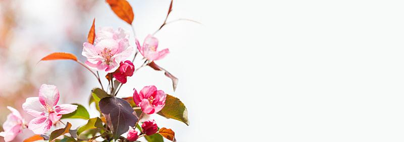 春天,背景,粉色,花朵,苹果,枝,花瓣,留白,清新,枝繁叶茂