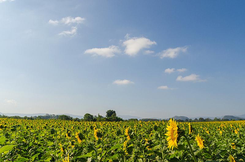 天空,早晨,田地,蓝色,向日葵,美,水平画幅,无人,夏天,户外