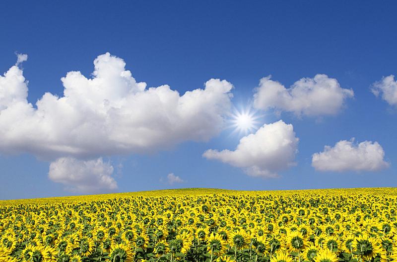 天空,田地,蓝色,向日葵,在下面,水平画幅,无人,云,日光,摄影