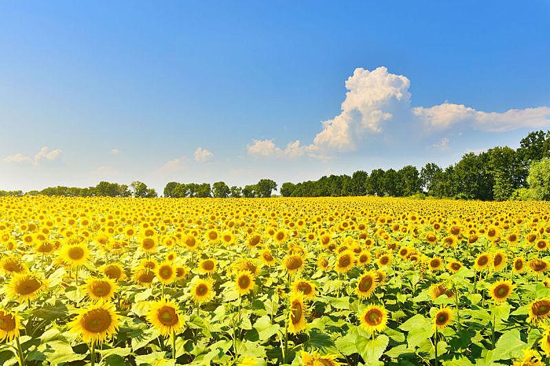 田地,向日葵,水平画幅,地形,曝光过度,无人,色彩鲜艳,夏天,户外,明亮