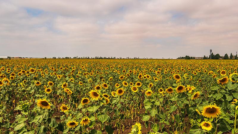 夏天,田地,向日葵,白昼,自然,天空,美,草地,水平画幅