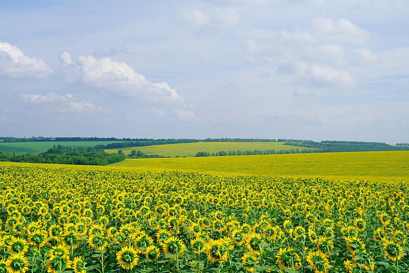 向日葵,田地,云,农业,有机农庄,农场,夏天,户外,天空,草地