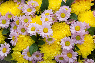 式样,背景,多色的,雏菊,自然,水平画幅,无人,周年纪念,浪漫,夏天