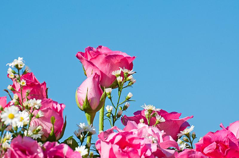 自然美,粉色,玫瑰,自然,芳香的,水平画幅,无人,色彩鲜艳,特写,脆弱