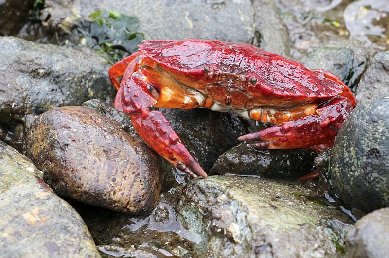 红石蟹,潮水坑,自然,野生动物,水平画幅,无人,野外动物,户外,一只动物,海洋