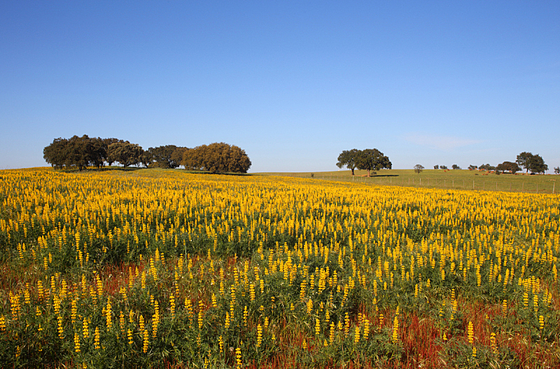阿连特茹,羽扇豆,葡萄牙,田地,黄色,橡树,科克郡,天空,水平画幅,无人