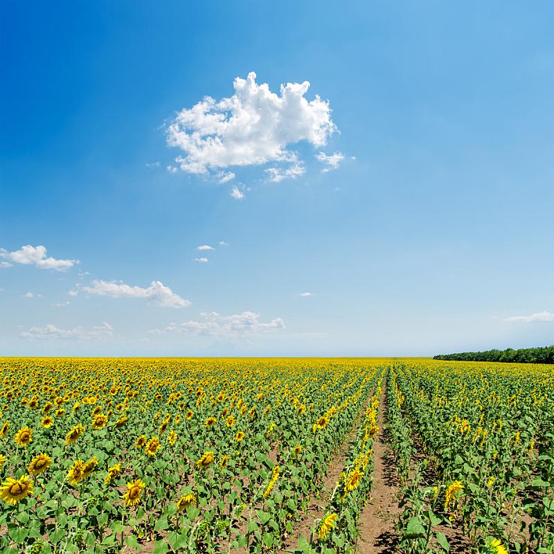 天空,田地,浅蓝色,向日葵,在下面,无人,夏天,户外,明亮,农作物