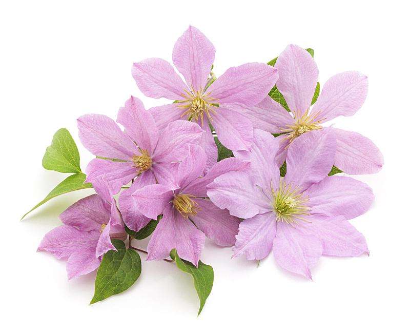 铁线莲,紫色,背景分离,公园,丰富,春天,想法,园林,植物,背景