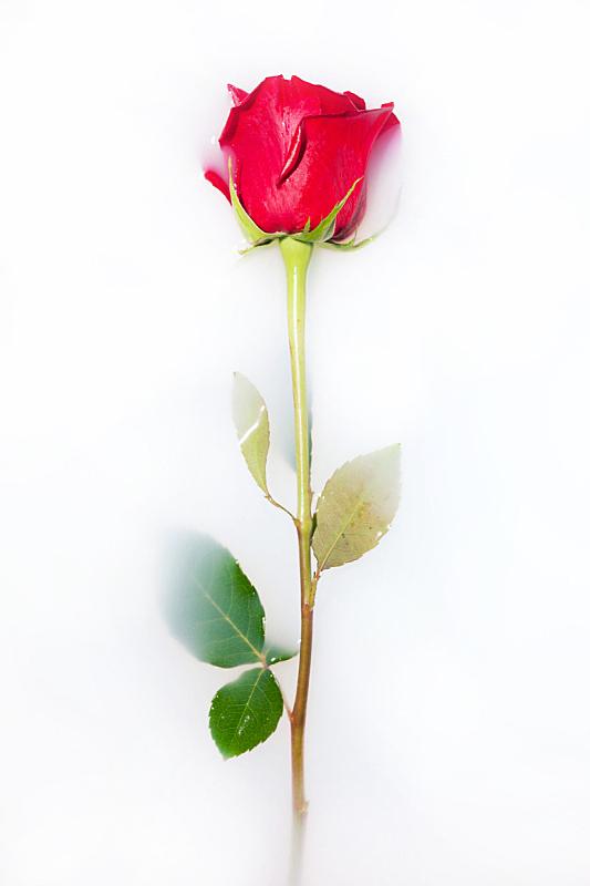 玫瑰,自然,垂直画幅,美,绿色,白色背景,背景分离,仅一朵花,华丽的,红色
