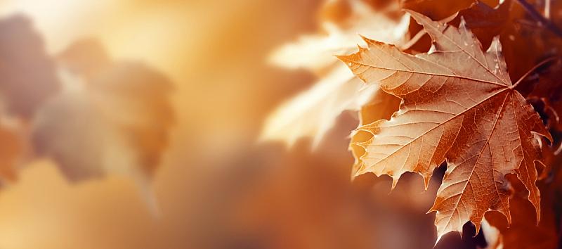 水平画幅,叶子,季节,秋天,红色,概念,阳光光束,背景,留白,自然美