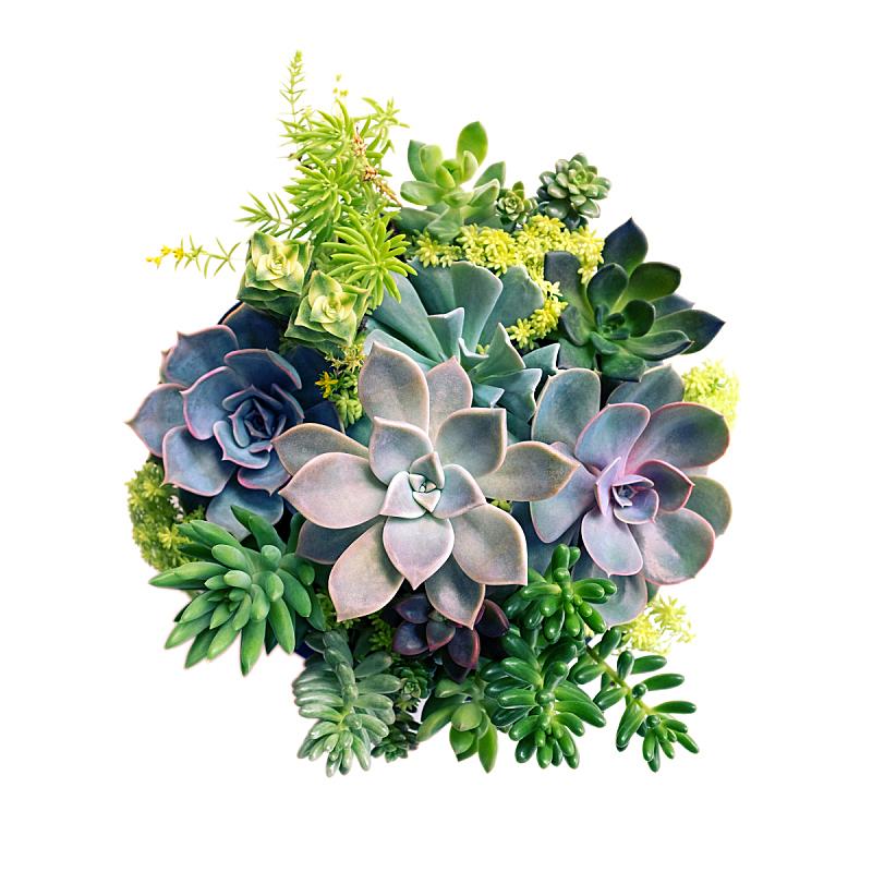 肉质植物,景天科拟石莲花属植物,白色背景,分离着色,花盆,植物学,环境保护,叶子,绿色,背景分离