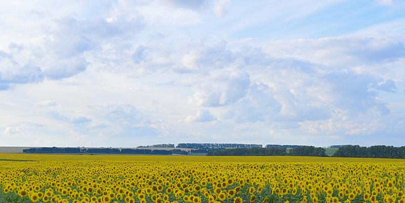 田地,向日葵,自然,天空,草地,水平画幅,地形,无人,蓝色,夏天