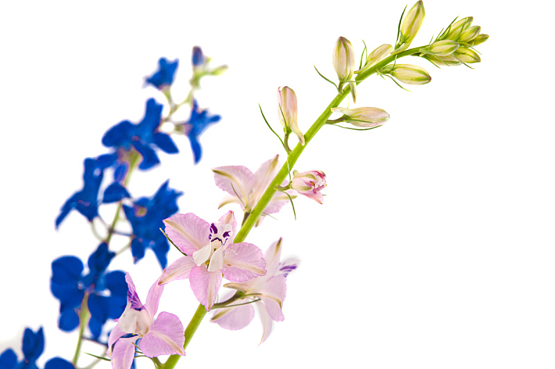野花,花束,分离着色,自然,水平画幅,无人,蓝色,三叶草,野生植物,草