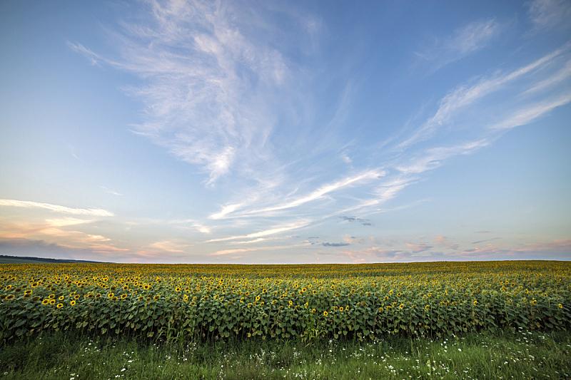 农业,向日葵,黄色,田地,明亮,香熏油,工业,概念,自然美,花