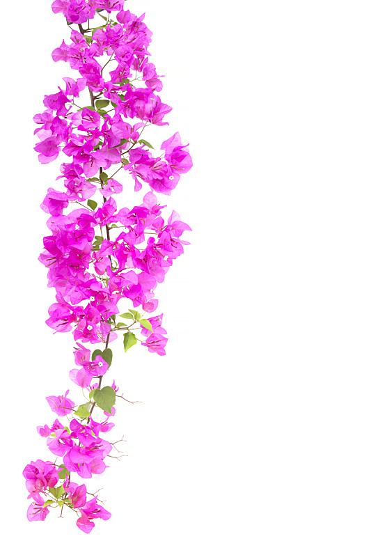 三角梅,纸花,分离着色,白色背景,垂直画幅,贺卡,气候,太空,夏天,泰国