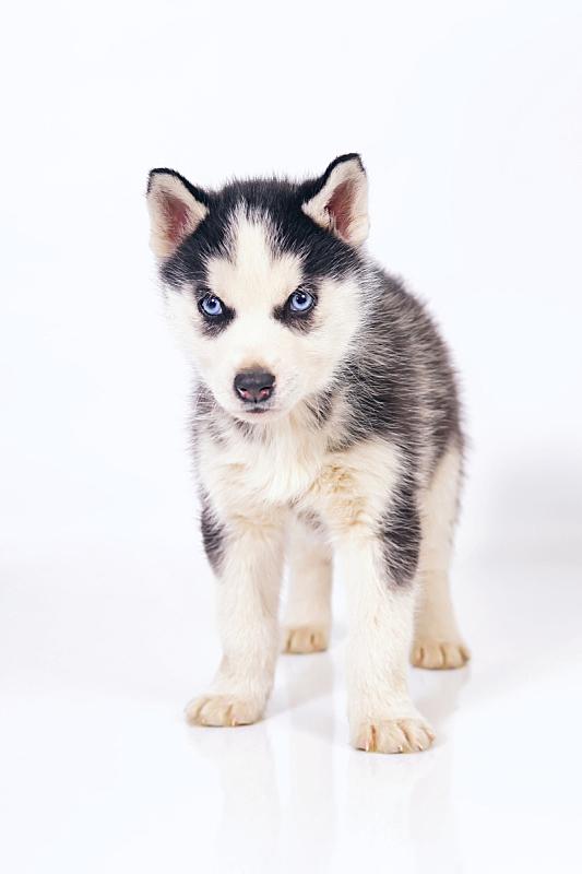可爱的,白色背景,小狗,室内,蓝色眼睛,黑白图片,西伯利亚哈士奇犬,垂直画幅,美,智慧