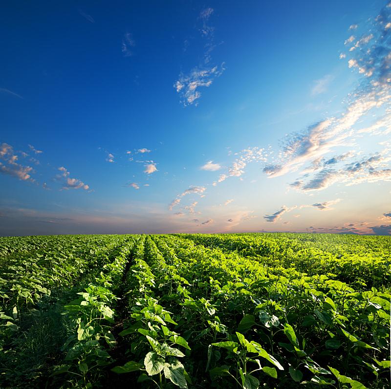 天空,向日葵,自然,非都市风光,水平画幅,无人,户外,云景,田地,植物
