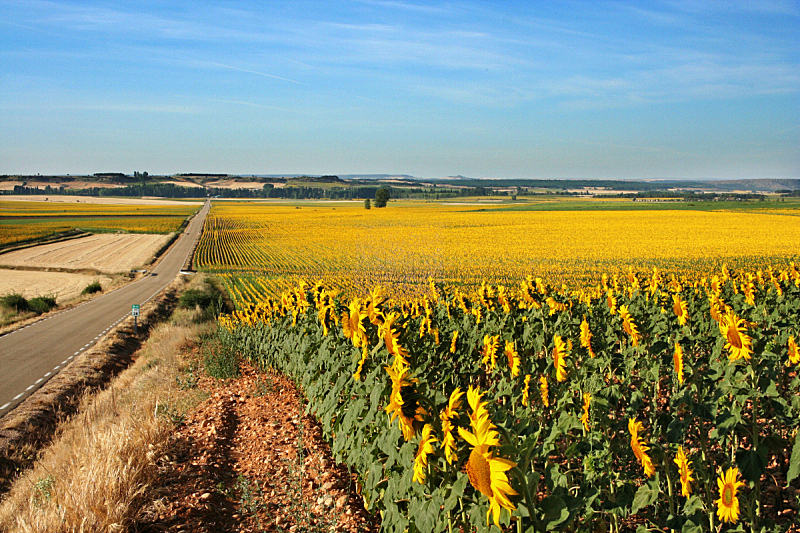 西班牙,田地,向日葵,乡村路,中环,高原,水平画幅,地形,索里亚省,无人