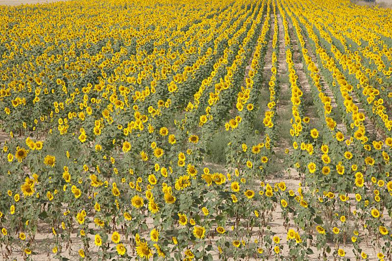 田地,向日葵,自然,水平画幅,无人,夏天,户外,活力,明亮,植物