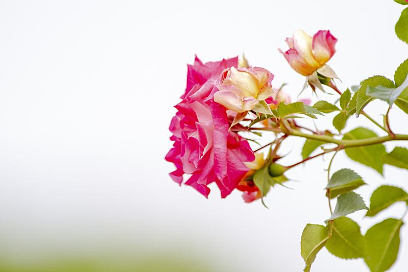 玫瑰,日本,自然,华丽的,浪漫,图像,美,玫瑰花瓣,花蕾,花瓣