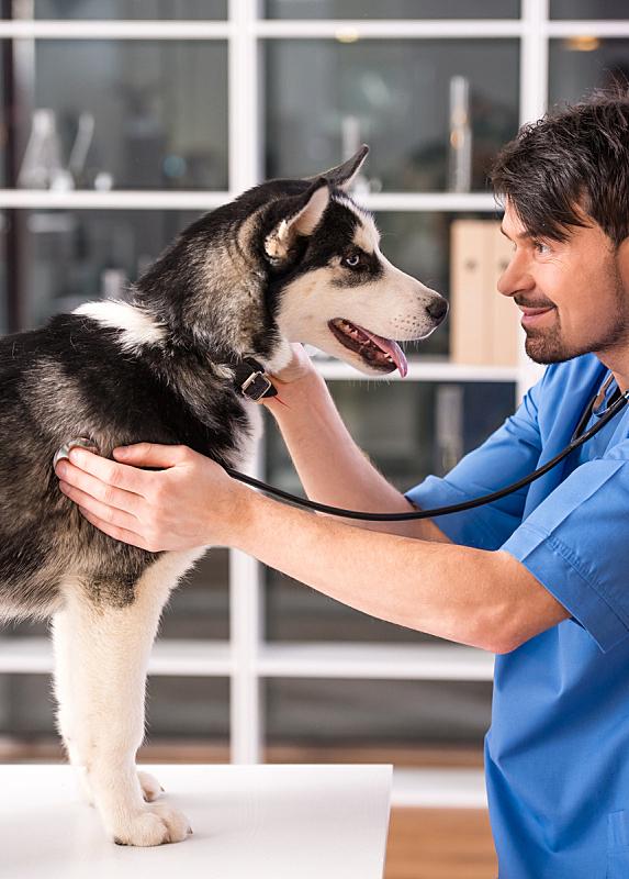 兽医,垂直画幅,寻回犬,梗犬,白人,听诊器,雪橇犬,成年的