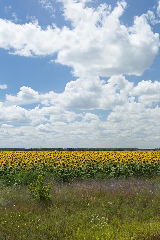 田地,向日葵,草地,垂直画幅,绿色,无人,黄色,农业,户外,摄影