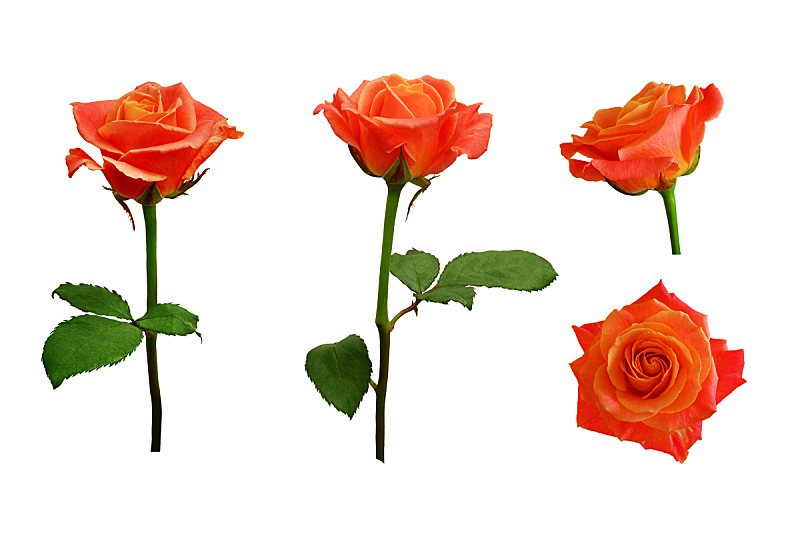 橙色,玫瑰,白色背景,粉色,分离着色,美,水平画幅,无人,夏天,特写