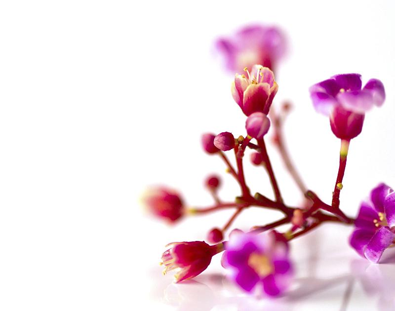 紫色,自然美,白色背景,分离着色,仅一朵花,自然,水平画幅,无人,夏天,植物