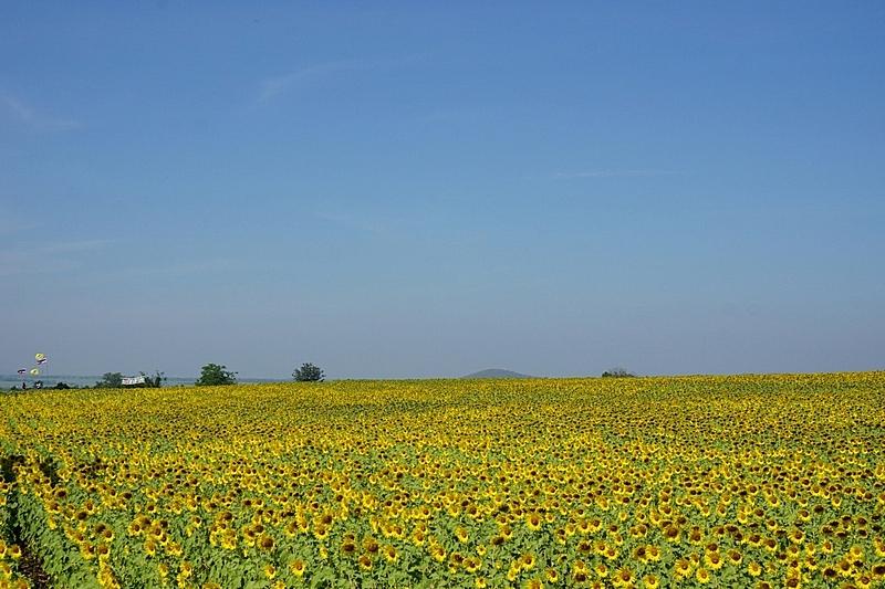 田地,向日葵,天空,美,水平画幅,夏天,户外,特写,活力,明亮