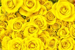 黄色,玫瑰,花束,玫瑰花瓣,黄色背景,并排,留白,水平画幅,高视角,无人