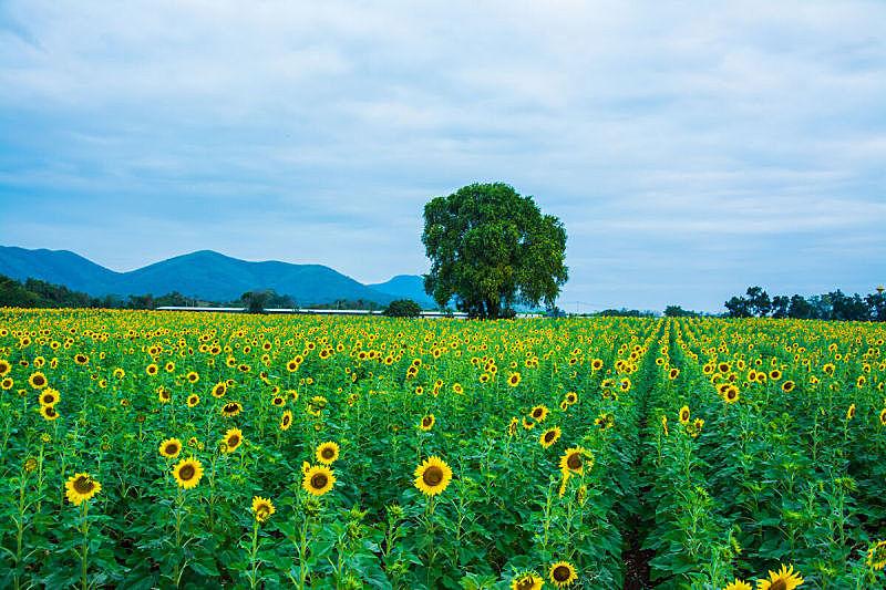 地形,田地,农场,向日葵,自然,天空,美,草地,水平画幅,绿色