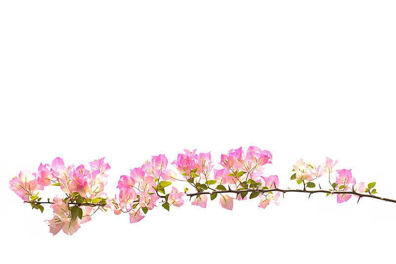 三角梅,纸花,白色背景,分离着色,贺卡,气候,水平画幅,夏天,泰国,园林