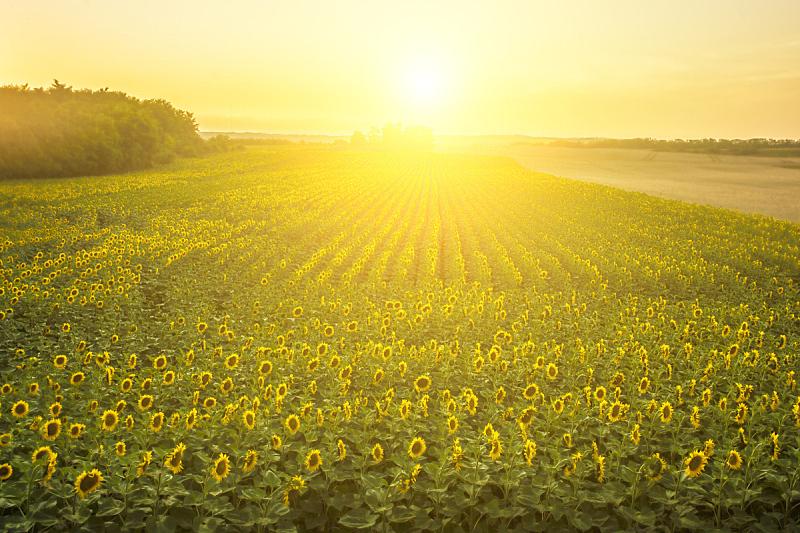 田地,向日葵,自然,水平画幅,景观设计,无人,色彩鲜艳,夏天,户外,天气