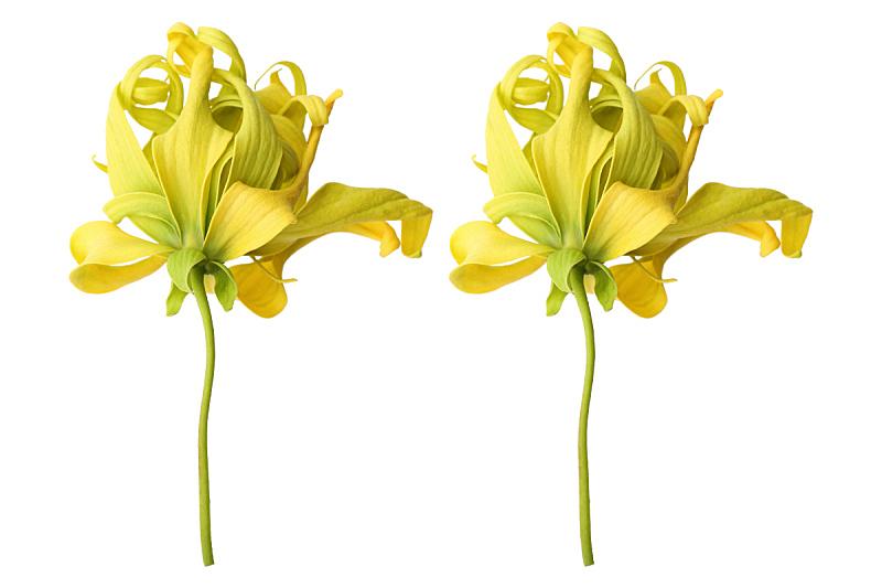 白色,依兰,分离着色,依兰树,植物茎,芳香疗法,芳香的,热带的花,兰花,花朵