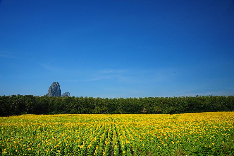 草地,地形,黄色,向日葵,天空,美,水平画幅,夏天,户外,特写