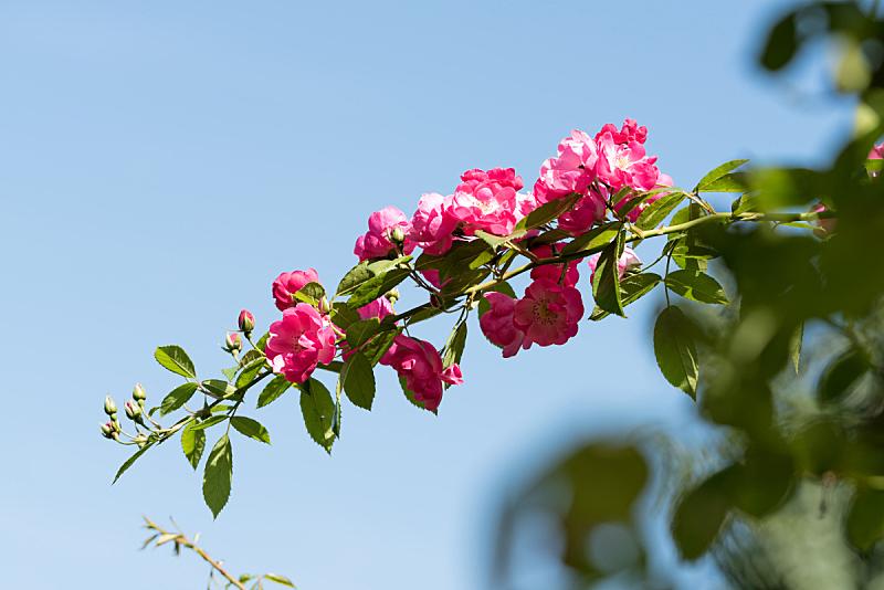 玫瑰,广岛县,自然,水平画幅,可爱的,秋天,无人,色彩鲜艳,九月,日本