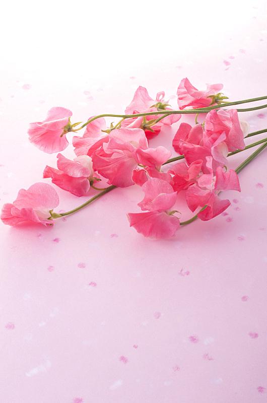 香豌豆,垂直画幅,留白,春天,植物,无人,柔和色,花瓣,影棚拍摄,摄影