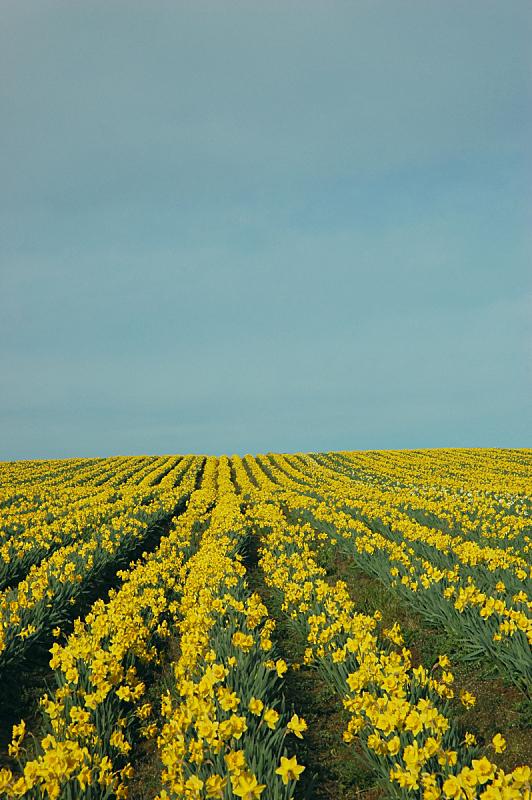 水仙花,地平线,垂直画幅,成一排,非都市风光,芳香的,快乐,无人,户外,农作物