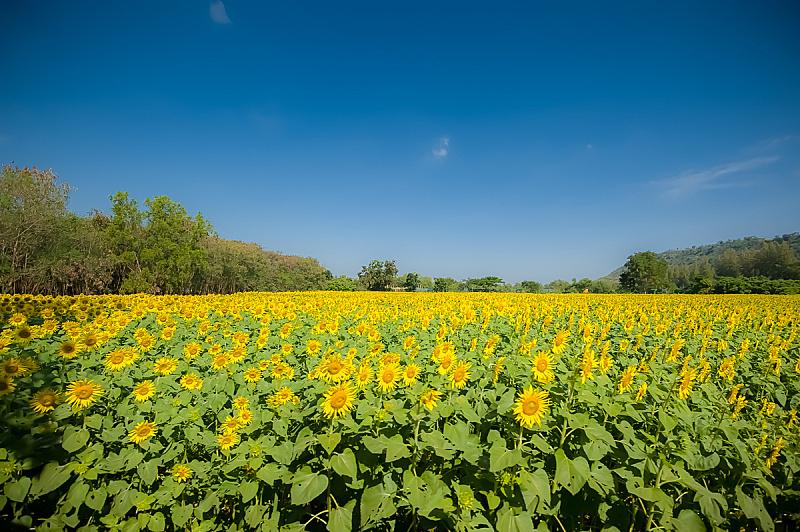 田地,向日葵,自然,黄色,泰国,图像,金色,无人,2015年