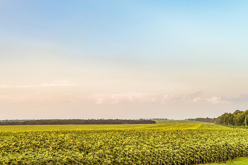 向日葵,田地,农业,地形,熟的,巨大的,common sunflower,水平画幅,无人,夏天